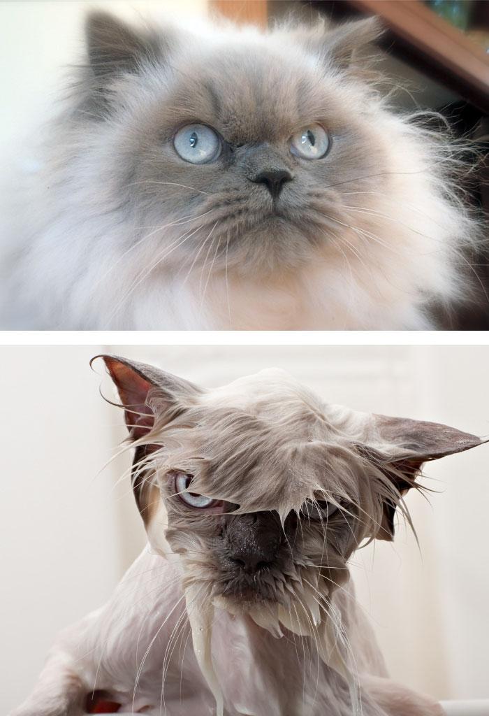 Gatos y perros antes y despues del bano (12)