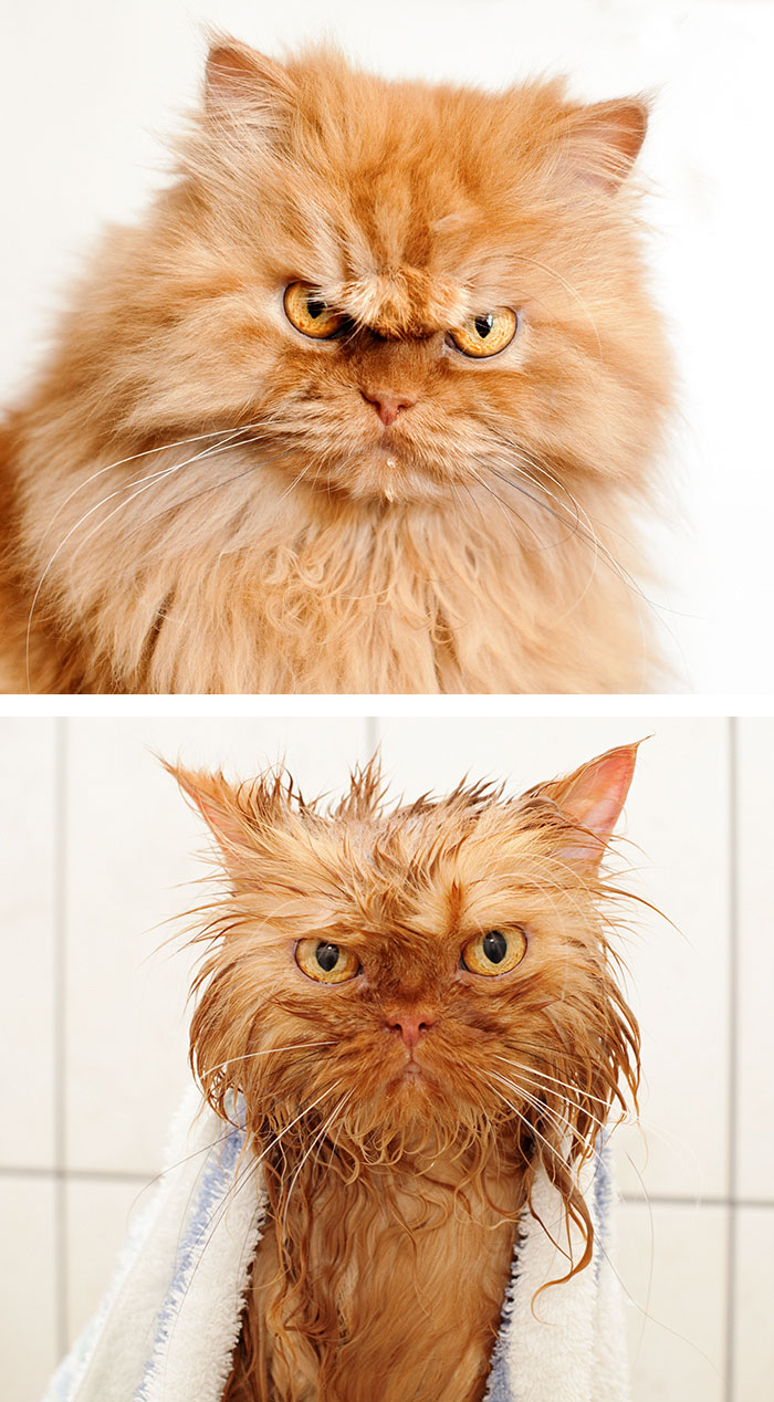 Gatos y perros antes y despues del bano (7)