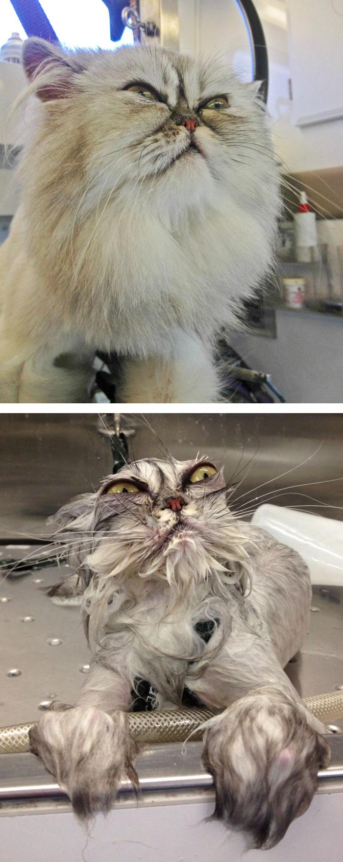 Gatos y perros antes y despues del bano (8)
