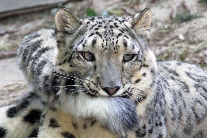 La increible belleza del leopardo de las nieves (4)