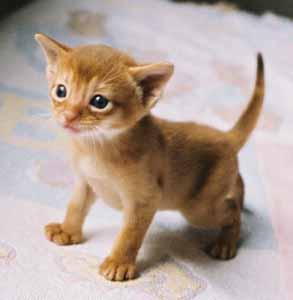 Gato absinio