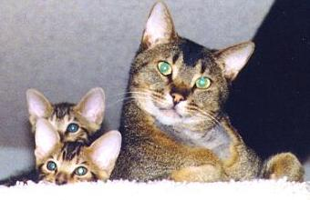 absinio cat breed