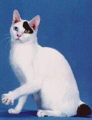 Las diferentes razas de gatos domesticos